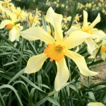 Our display of daffs is delicious